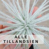 Alle Luftpflanzen