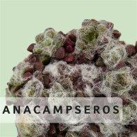 Anacampseros
