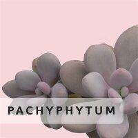 Pachyphytum
