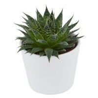 Aloe aristata - 5,5cm