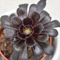 Aeonium arboreum Schwarzkopf- 5,5cm