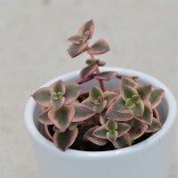 Crassula pellucida ssp. marginalis - 5,5cm