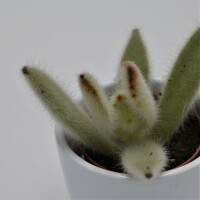 Kalanchoe villosa - 6,5cm