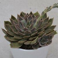 Echeveria Mensa - 10,5cm