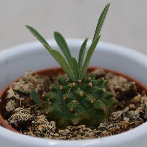 Euphorbia suzanne x bupleurifolia - 5,5cm