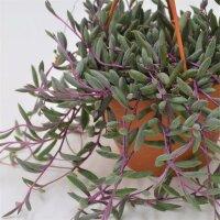 Othonna capensis Ruby Necklace - 12cm Ampel