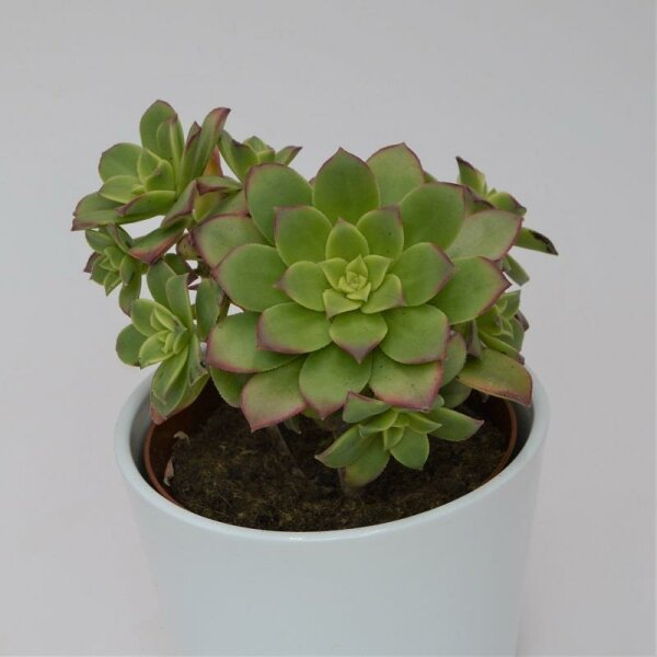 Aeonium haworthii 'Dream Color' - 12cm