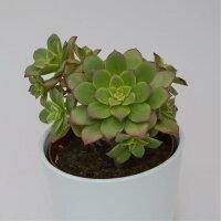 Aeonium haworthii 'Dream Color' - 12cm