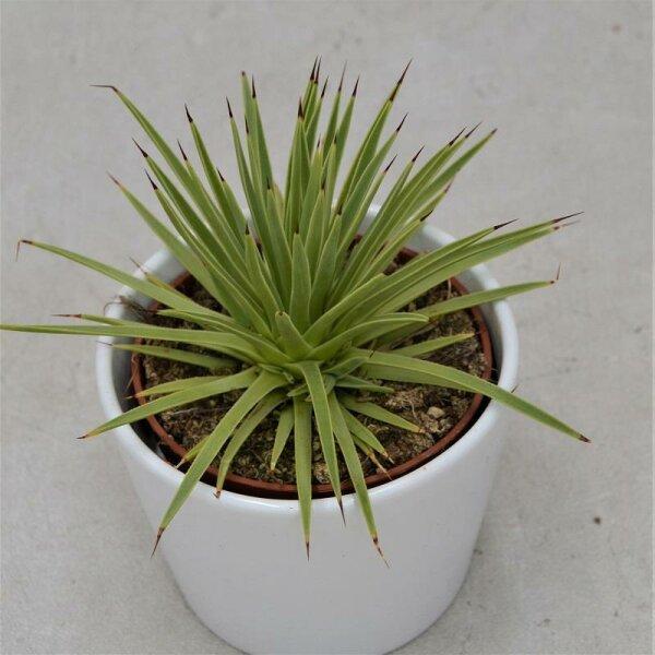Agave striata v. nana - 10,5cm
