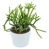 Rhipsalis teres f. heteroclada - 6cm