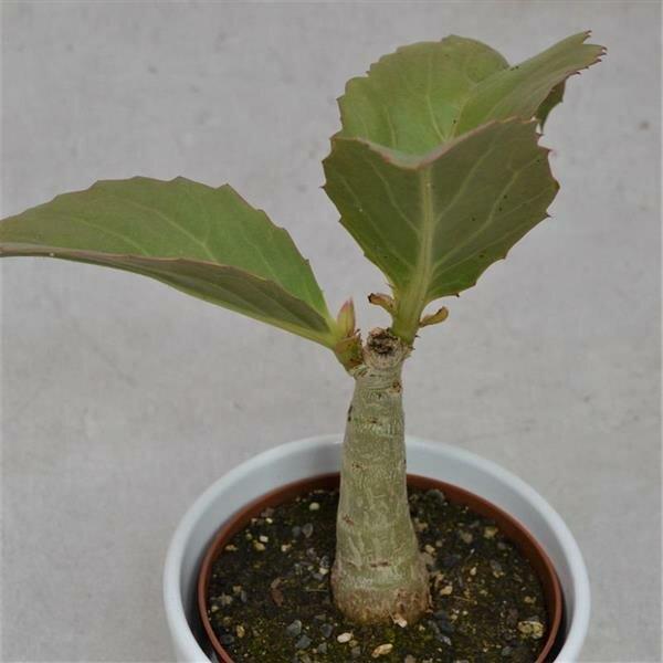 Cissus jutea - 10,5cm