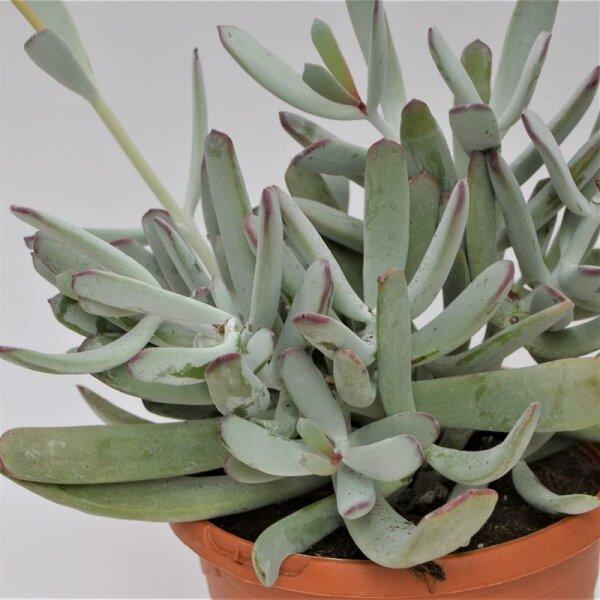 Cotyledon orbiculata var. oblonga - 17cm