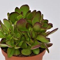 Crassula nudicaulis var. platyphylla Burgundy - 13cm