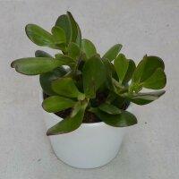 Crassula ovata - 10,5cm