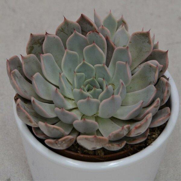 Echeveria cuspidata var. zaragoza Pink - 8,5cm