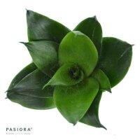 Sansevieria trifasciata Black Jade - 6cm
