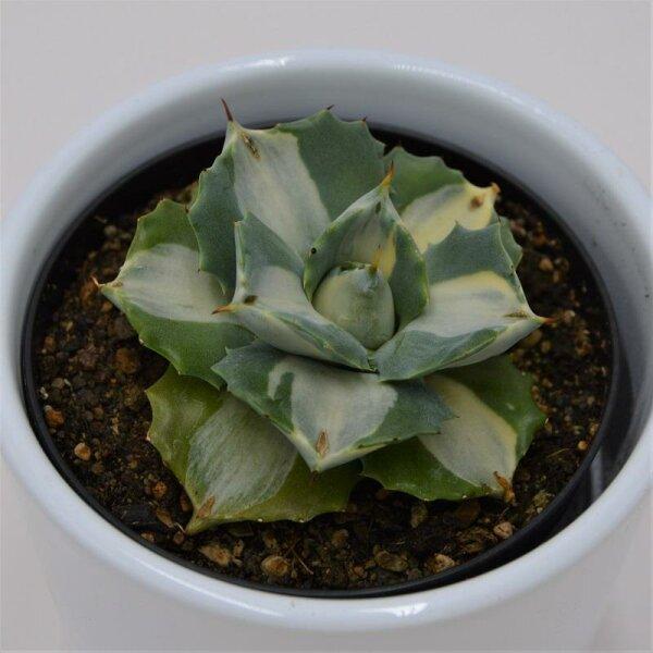 Agave isthmensis f. mediopicta alba - 9cm