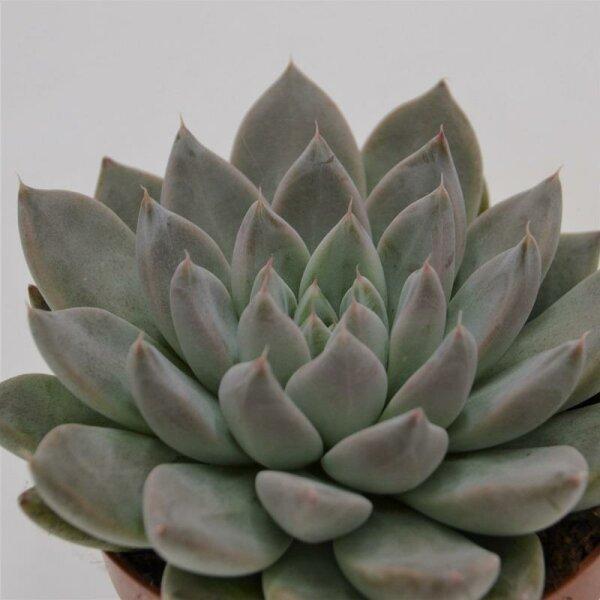 Echeveria tolimanensis Hybride - 9cm