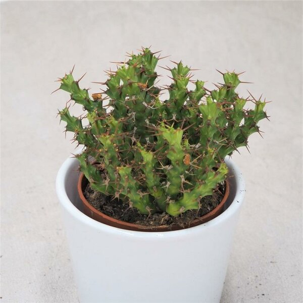 Euphorbia lenewtonia - 8,5cm