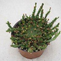 Euphorbia pugniformis - 13cm