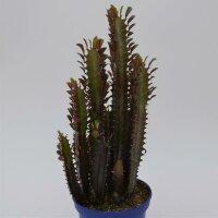 Euphorbia trigona Rubra - 13cm