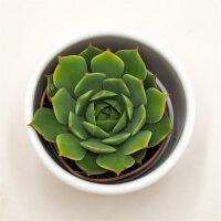 Echeveria Ramilette - 5,5cm