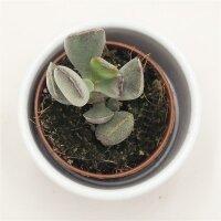Adromischus truncatus - 5,5cm