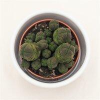 Crassula pyramidalis compactum - 5,5cm