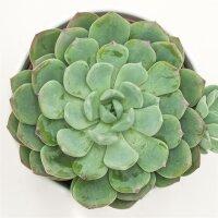 Echeveria Garoto - 10,5cm