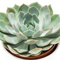 Echeveria Grande Cinza - 12cm