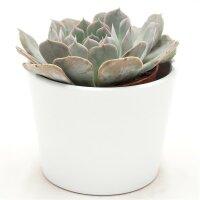 Echeveria Grey Prince - 9cm