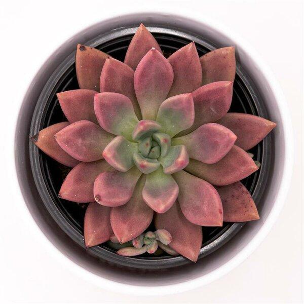 x Graptoveria Pink Donna - 13cm