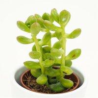 Sedum lucidum - 5,5cm