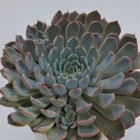 Echeveria cuspidata var. zaragoza Pink - 15cm