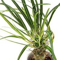 Pachypodium geayi - 9cm