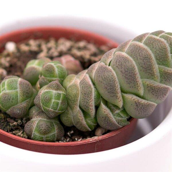 Crassula barklyi - 5,5cm
