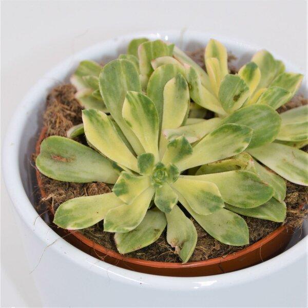 Aeonium domesticum f. variegata - 8,5cm