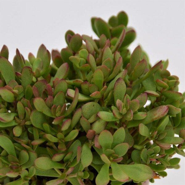 Crassula radicans - 8,5cm