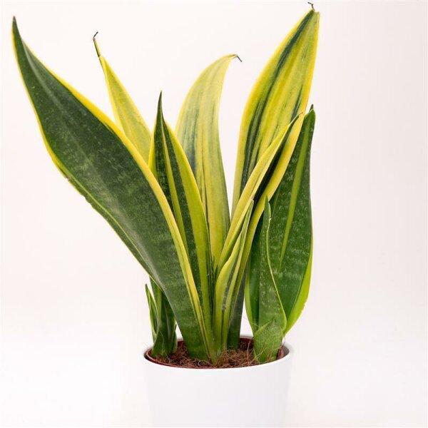 Sansevieria Golden Flame - 12cm