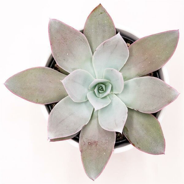 Echeveria cante - 12cm