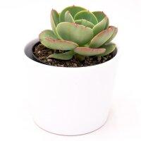 Echeveria Green Spoon - 10,5cm