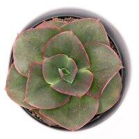 Echeveria Varaha - 9cm