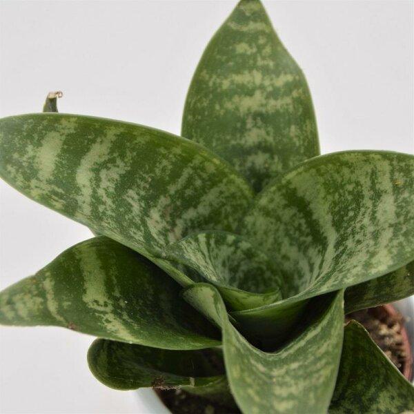 Sansevieria trifasciata Green Honey - 6cm