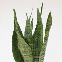 Sanseveria zeylanica - 12cm