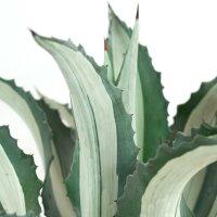 Agave americana f. medio-picta alba - 30cm