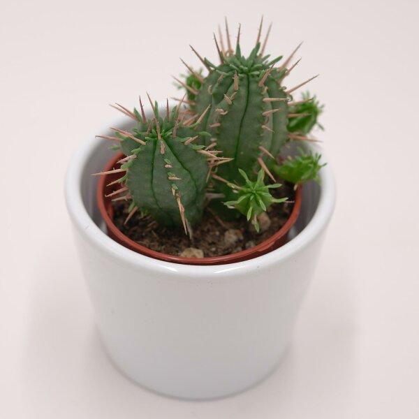 Euphorbia ferox - 5,5cm