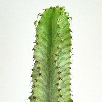 Euphorbia ingens marmorata - 17cm