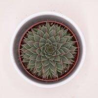 Graptopetalum filiferum - 8,5cm