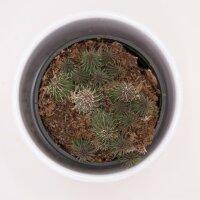 Huernia pillansii - 8cm