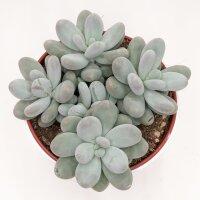 Pachyphytum oviferum - 15cm